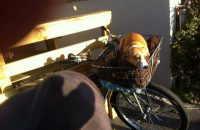 Cliffie taking the sun in Stephen's bike basket.