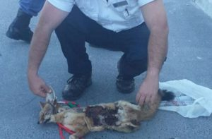 A Cape Jackal and porcupine were found with the greyhounds.