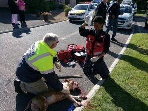 A student paramedic got a surprise this morning when he found that his patient was a badly injured pitbull. Photos: South African Paramedics
