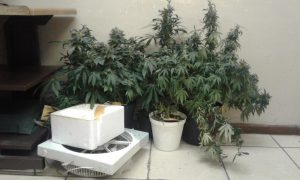 This hydroponic lab was found in a home in Flamingo Vlei. Photo: Provided