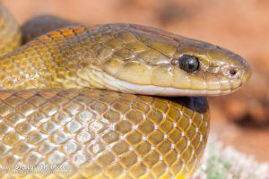 The Aurora housesnake is harmless. Photo: African Snakebite Institute