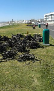 Kelp that was harvested on the beach yesterday. Photo: Provided