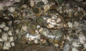 Abalone. Photo to illustrate