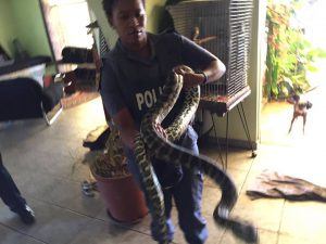 The female constable took it upon herself to move the pythons. Photo: SAPS