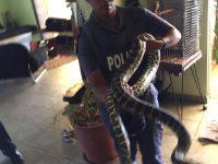 Pythons guard Drugs