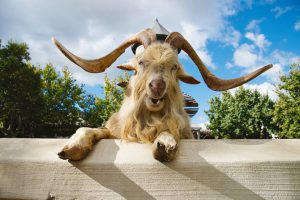 Fairview Wine Estate's laughing goat. Photo: Fairview Wine and Cheese