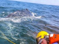 2 Humpback Whales Saved