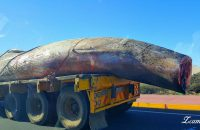 The whale carcass. Photo and video: Marnette Meyer