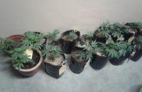 Mandrax, 'Tomato plants' & Other Paraphernalia lead to Arrests
