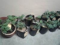Mandrax, 'Tomato plants' & Other Paraphernalia lead to Arrests